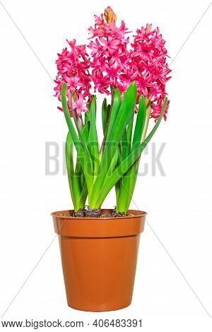 Three Pink Blooming Hyacinths In A Brown Pot Isolated On White Background. Template For The Composit