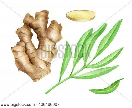 Watercolor Ginger Root With Slice And Leaves Set. Hand Drawn Ginger Rhizome Illustration Isolated On