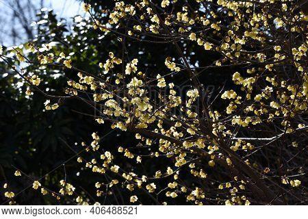 Wintersweet (japanese Allspice) Flowers / Calycanthaceae Deciduous Tree.