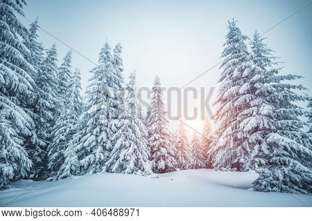 Exotic view of snow-capped spruces on a frosty day. Location place of Carpathian mountains, Ukraine, Europe. Photo wallpapers. Fabulous nature image. Happy New Year! Discover the beauty of earth.