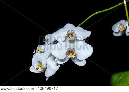 White Flowers Of Blooming Orchid On A Dark Black Background. Phalaenopsis Cultivation.