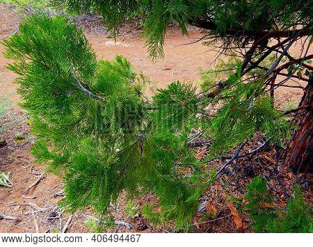 Cedar Scene - Cedar Fronds On A Low Branch Of A Western Red Cedar Tree - At A Primitive Campsite On
