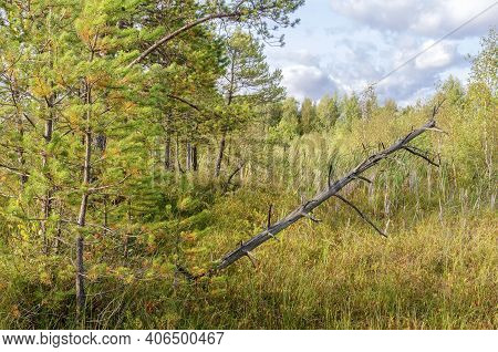 Swamp Landscape Of Pine, Rotten Wood, Cranberries And Other Swamp Plants Against A Cloudy Sky In Sum