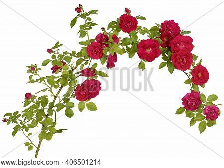 A Long Branch Of A Rosehip Bush In The Form Of A Rim And A Semicircle With Red Flower Buds Isolated
