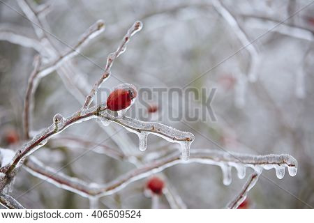 Close-up Of Frozen Rose Hip Coverd With Ice After Rain During Winter Day.