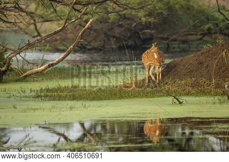 Spotted Deer Or Chital Or Cheetal Or Axis Axis With Reflection In Water Golden Hour Sunset Light And