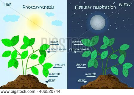Diagram Of Plant Photosynthesis. Photosynthesis Explanation Science. Photosynthesis Process Poster W