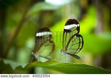 Two Greta Oto Butterflies On Green Tree Leaf. No People