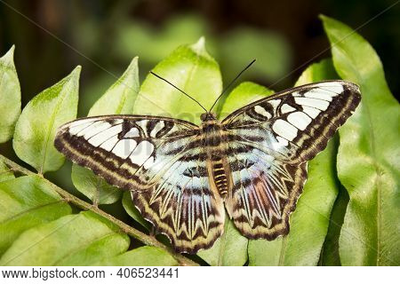 Greenish And Brown Butterfly. No People. Green Background