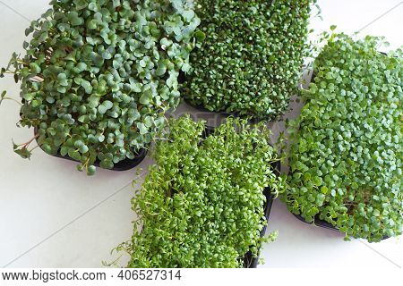 Trays With Fresh Microgreen Sprouts. View Above.