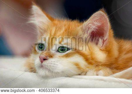 Funny Cute Red Kitten. Ginger Red Kitten Thinking. Pretty Red Kitten. Sweet Adorable Sad Ginger Cat