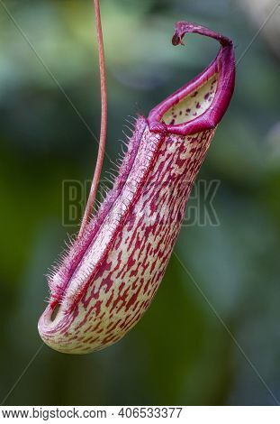 Nepenthes (pitcher Plant) Tropical Carnivorous Plant Or Monkey Cups. Carnivorous Pitcher Plant Jungl