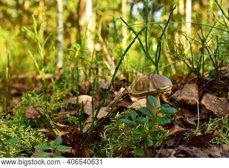 Porcini White Mushrooms Grow In The Forest Against A Background Of Green Grass. Bolete Mushroom In W