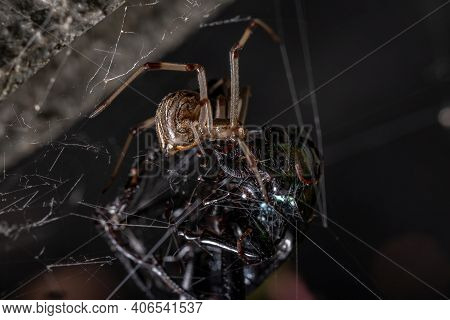 Female Adult Brown Widow Preying On A Adult Caterpillar Hunter Beetle