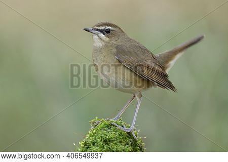 Lovely Fat Brown Bird Happily Perching On Top Of Moss Spot With Oval Shape In Expose To Evening Low