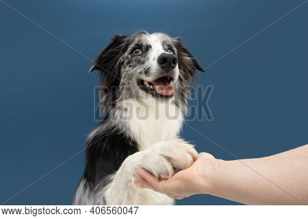 Portrait High Five Border Collie Dog Trick. Obedience Concept. Isolated On Blue Colored Background