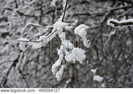 Newly Fallen Soft White Snow On Twigs