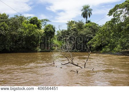 Tree On The River Sao Lourenco; Green Vegetation And Muddy Water