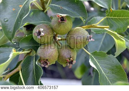 Pears On A Branch Close-up. Fruit Pear Trees In The Garden. Pear Fruiting Begins In Early Summer.