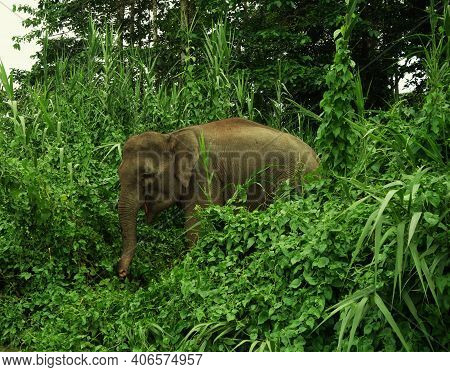 Female Pygmy Elephant Coming To The River To Drink, Sabah, Malaysia