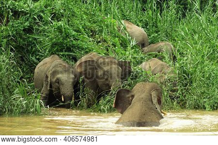 Herd Of Elephants Playing On Drinking By The River Bank, Kinabatangan, Malaysia