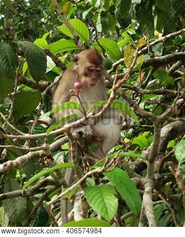 Long Tailed Macaque In The Canopy Searching For Food