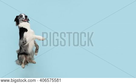 Border Collie Trick. Dog Sitting On Hind Legs Begging Behaviour. Isolated On Blue Background.