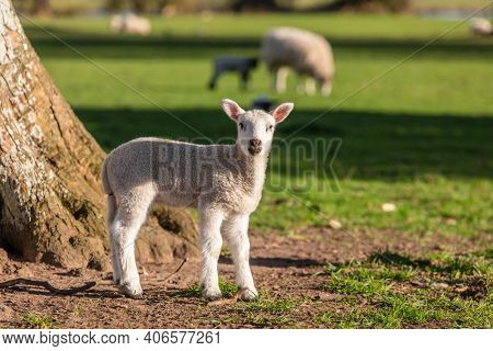 Young baby spring lamb and sheep in a green farm field