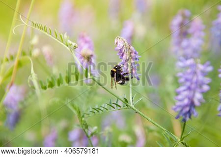 Bumblebee. Beautiful Summer Background. Bumblebee Pollinates Flowers. Wildflowers And Insect.