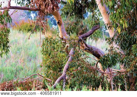 Eucalyptus Trees Surrounded By A Lush Grassy Field Taken On A Prairie At A Lush Eucalyptus Forest In