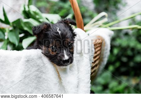 Happy Black Puppy Portrait Sits In Basket On White Wall Background. Happy Dog Pooch With Bouquet Of