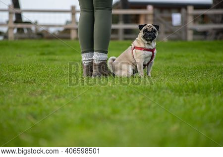 Unidentified Person With A Obedient Pug In A Harness At Her Side Looking Into The Camera Ideal For D