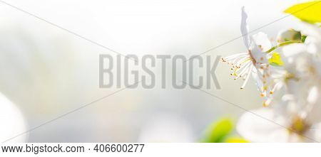 Beautiful Branch Of A Blossoming Cherry. Floral Background. Spring Flowers. Pistils And Stamens. An