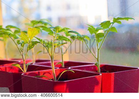 Seedlings In Pots On The Window . Spring Planting. Home Grown Vegetables. Agricultural Industry. Gar