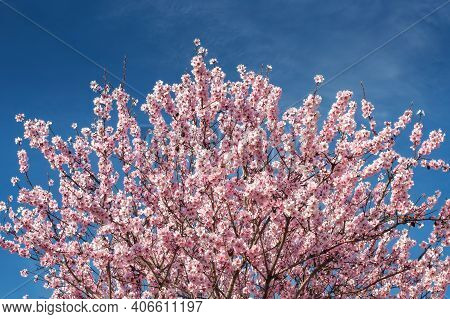 A Tree With Almond Blossoms Against A Blue Sky. Beautiful Delicate Pink Almond Flowers.