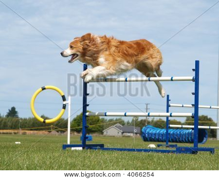 Red Collie Jumping
