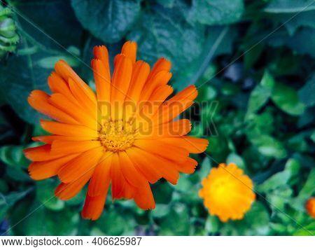 Calendula (marigold Flower) Leaf On Green Natural Summer Background. Calendula Medicinal Plant Petal