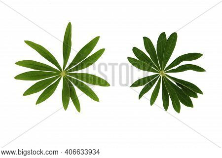 Green Plant Leaves Of Lupine Flower On A White Isolated Background, Template For Your Design, Natura