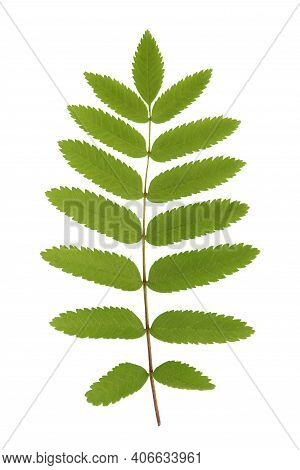 Green Plant Leaves Of Rowan On A White Isolated Background, Template For Your Design, Natural Eco-fr