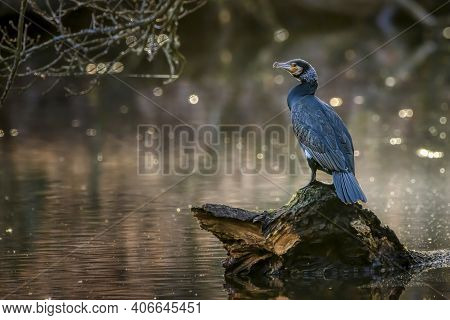 A Great Black Cormorant Sitting On A Tree In A Pond Called Jacobiweiher Next To Frankfurt, Germany A