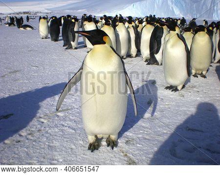 Emperor Penguins Flock Antarctica Snow Ice Blue Sky