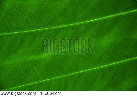 Close-up Shot Of A Large Banana Leaf. Tropical Pattern. Lines And Textures On A Green Exotic Leaf. F