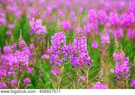 Willow Herb Pink Epilobium Flowers Of Fireweed (epilobium Or Chamerion Angustifolium) In Bloom Ivan