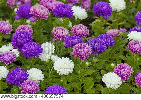 Violet Purple Pink & White Aster Flowers On Green Leaves Background. Colorful Multicolor Aster Flowe