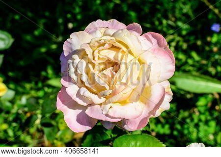 Close Up Of One Large And Delicate Light Yellow And Pink Rose In Full Bloom In A Summer Garden, In D