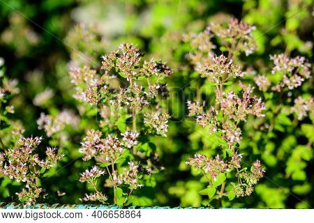 Many Fresh Green Leaves And Purple Flowers Of Thymus Serpyllum Plant, Known As Breckland Wild Thyme,