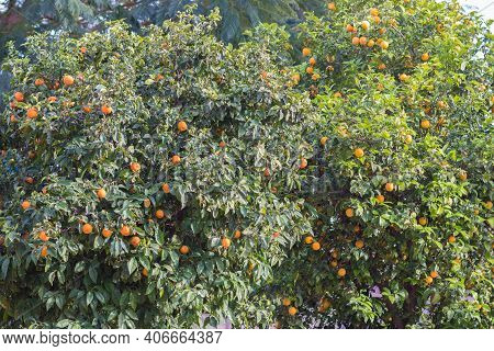 Bitter Orange Tree With Ripe Orange Fruit On It