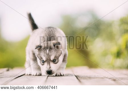 Four-week-old Husky Puppy Of White-gray Color Sitting On Wooden Ground And Sniffs It.
