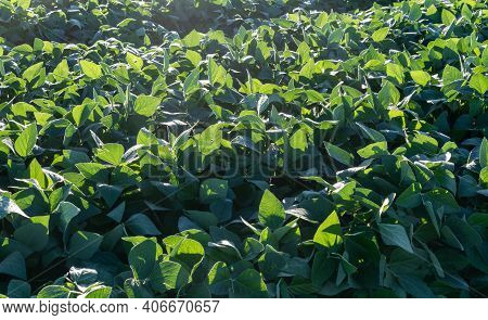 Soy Plantation In The Early Stage Of Cultivation In An Agricultural Production Field.