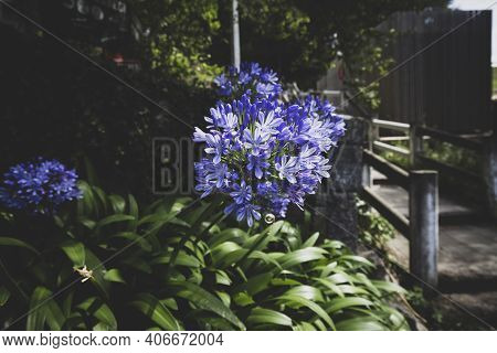 Allium Flowers Allium Giganteum In Spring Garden, Growing Bulbs In The Garden. Tinted Dark Photo, Se
